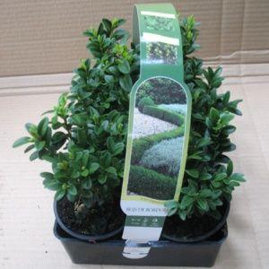 Buis commun pour bordure (Buxus sempervirens) – 6 godets de 9 cm Hauteur 10/15 cm – PLANTES ET JARDINS – Jardinerie en ligne
