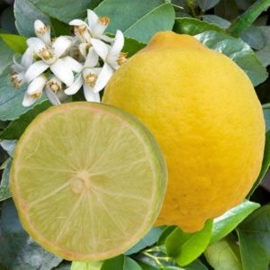 Lime 'Mexicaine' (Citrus aurantifolia)