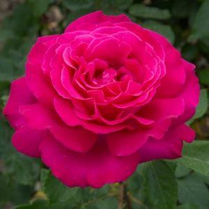Rosier 'Velasquez'® (Rosa 'Velasquez'® Meimirtylus)