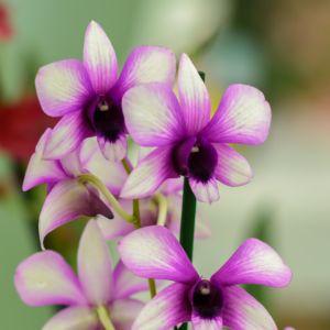 Orchidée Dendrobium polar fire 2 tiges