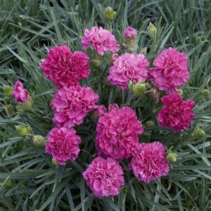Dianthus plumarius devon wizard – Lot de 3 godets de 7 cm