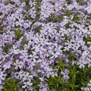 Phlox rampant violet benita (Phlox subulata) – 3 godets de 7 cm – PLANTES ET JARDINS – Jardinerie en ligne