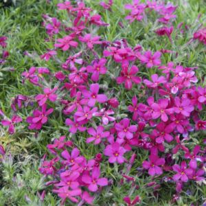 Phlox subulata temiskaming – Lot de 3 godets de 7 cm