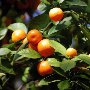 Calamondin – Pot de 5 litres – PLANTES ET JARDINS – Jardinerie en ligne