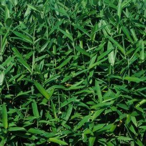 Petit bambou – Sasa tsuboiana – bambou en pot (7 litres) – hauteur 40/60 cm – PLANTES ET JARDINS – Jardinerie en ligne