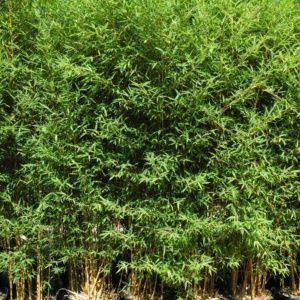 Bambou en pot (15 litres) – Phyllostachys aurea ' Koï '- hauteur 150/200 cm – PLANTES ET JARDINS – Jardinerie en ligne