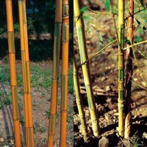 Bambou moyen : Phyllostachys aurea ' Koï '- Pot de 30 litres, H 200/250cm – PLANTES ET JARDINS – Jardinerie en ligne