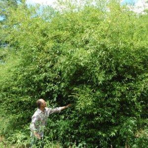 Bambou en pot (30 litres) – Phyllostachys 'Tip Top' – hauteur 200/250 cm – PLANTES ET JARDINS – Jardinerie en ligne