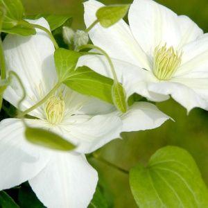 Clématite 'Mme Lecoultre' – pot de 3 litres (18 à 24 mois de culture) – PLANTES ET JARDINS – Jardinerie en ligne