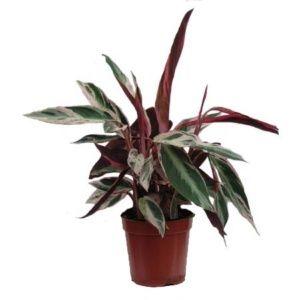 Maranta 'Multicolor' – plante d'intérieur – Hauteur 40/45 cm