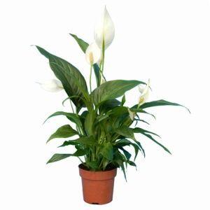 Spathiphyllum (fleur de lune) – Plante d'intérieur – Hauteur totale 55/60 cm – PLANTES ET JARDINS – Jardinerie en ligne
