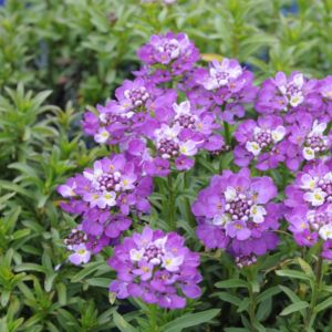 Iberis sempervirens absolutely amethyst ® – Lot de 3 godets de 7 cm
