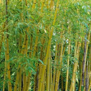 Bambou moyen : Phyllostachys aurea (Phyllostachys aurea) – En pot de 3 litres, hauteur 40/80 cm