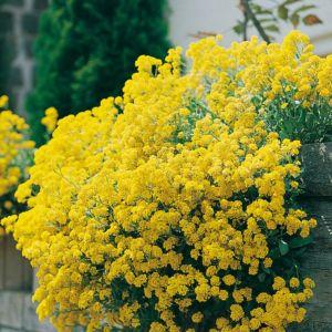Alysse des montagnes jaune – Le lot de 3 godets