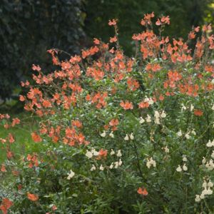 Salvia microphylla orange