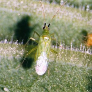 Calpop Macrolophus pygmaeus 50 adultes contre aleurodes (et acariens) Biotop