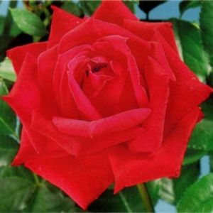 Rosier 'Red Masterpiece®' (Rosa 'Red Masterpiece®' ROY'74)