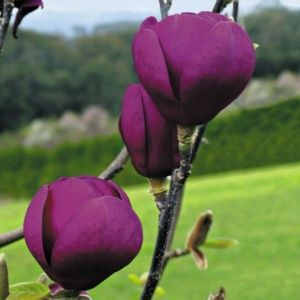 Magnolia greffé 'Black Tulip'® – Pot de 7,5 litres, hauteur 60/90 cm – PLANTES ET JARDINS – Jardinerie en ligne