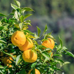 plantes d 39 orangerie oranger bananier mimosa le magazine gamm vert. Black Bedroom Furniture Sets. Home Design Ideas