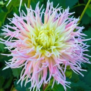 Dahlia cactus dentelle 'Marylin' – Extra