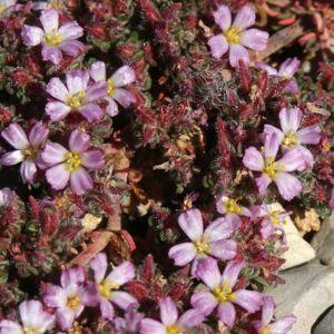 Bruyere marine – Frankénie lisse rose – Lot de 3 godets de 7 cm