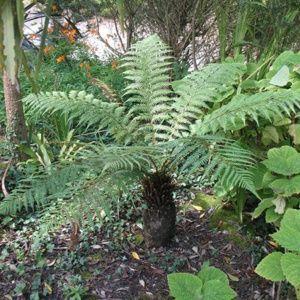 FougÚre arborescente – Pot de 5 litres, tronc