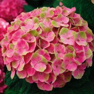 Hortensia Magical® 'Amethyst' rose – pot de 5 litres