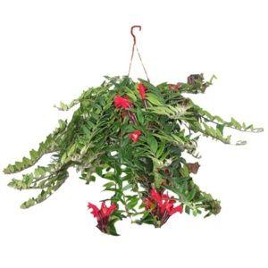 Aeschynanthus 'Scoubidou' – Plante fleurie grimpante- Suspension 14 cm – PLANTES ET JARDINS – Jardinerie en ligne