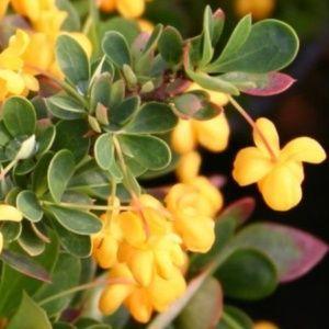 Berbéris à feuilles de buis 'Nana' ( Pot 3 litres, 20/30 cm )