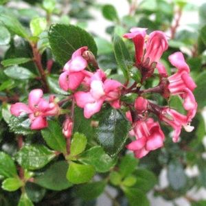 Escallonia Red donard