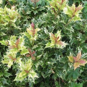 Osmanthe à feuilles de houx Tricolor