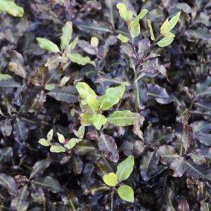 Pittosporum à petites feuilles 'Tom thumb'