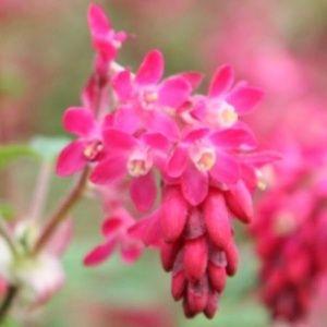 Groseillier à fleurs Pulborough scarlet