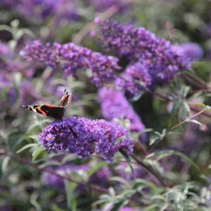 Arbre aux papillons 'Nanho blue' – Pot de 4 litres, H40/60 cm- PLANTES ET JARDINS – Jardinerie en ligne
