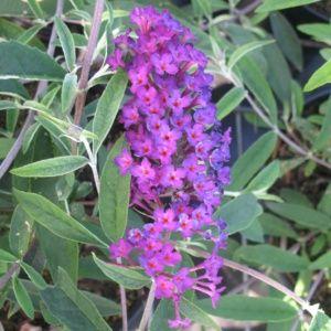 Buddleia davidii 'Nanho Purple' ( Pot 4 litres, 40/60 cm )