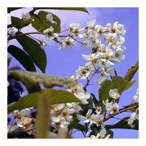Merisier à grappes blanc (Prunus padus)