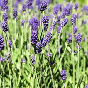Lavande vraie 'Hidcote blue' – Le lot de 3 godets – PLANTES ET JARDINS – Jardinerie en ligne