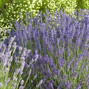 Lavande vraie 'Hidcote blue' (Lavandula angustifolia) – Le lot de 3 godets – PLANTES ET JARDINS – Jardinerie en ligne