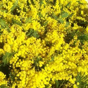 Mimosa d 39 hiver ou des 4 saisons planter bouturer for Jardin d hiver wine