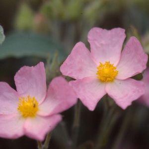 Ciste parviflorus