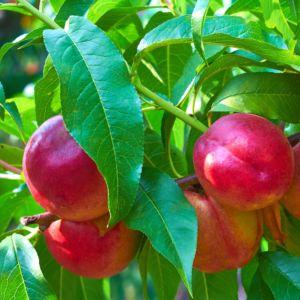 Planter un arbre fruitier en racines nues le magazine gamm vert - Quel arbre fruitier planter ...
