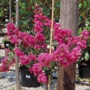 Lilas des indes 'Petite orchidée'