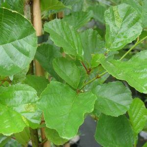 Aulne à feuilles de coeur