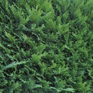 Cyprès de Leyland fastigié (Cupressocyparis leylandii) – Pot 3 litres, H80/100cm – PLANTES ET JARDINS – Jardinerie en ligne