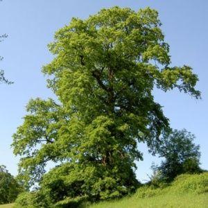 Chêne chevelu