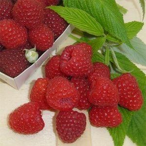 Framboisier 'Marastar' – Pot de 2 litres – PLANTES ET JARDINS – Jardinerie en ligne