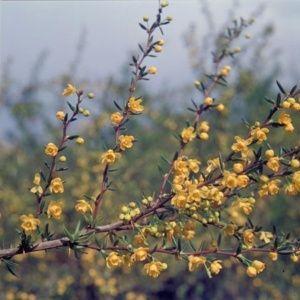Berberis x stenophylla ( Pot 3 litres, 30/40 cm )