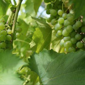 Vigne 'Dattier de Beyrouth' – En pot de 2 litres