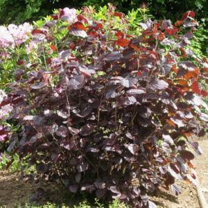 Noisetier pourpre – Pot de 5 L, hauteur 60/90 cm – PLANTES ET JARDINS – Jardinerie en ligne