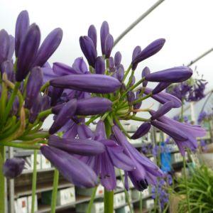 Agapanthe 'Purple Delight'